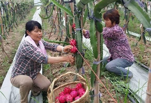 南京本土火龙果迎来采摘季 一直持续到12月份