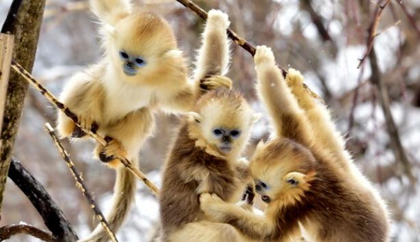 神农架野生金丝猴雪中玩耍