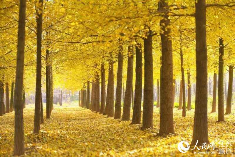 江苏邳州打造银杏小镇 从卖果卖叶到卖风景