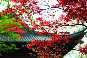 南京栖霞山红枫迎最佳观赏期