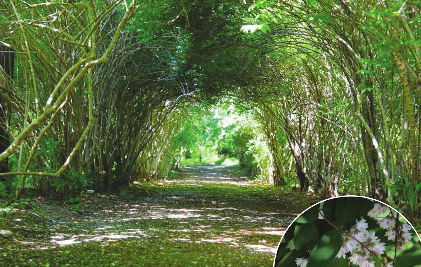 """南京中山植物园""""爱情隧道""""即将花繁叶茂"""