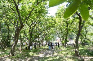 淮安新发现57棵百年以上古板栗