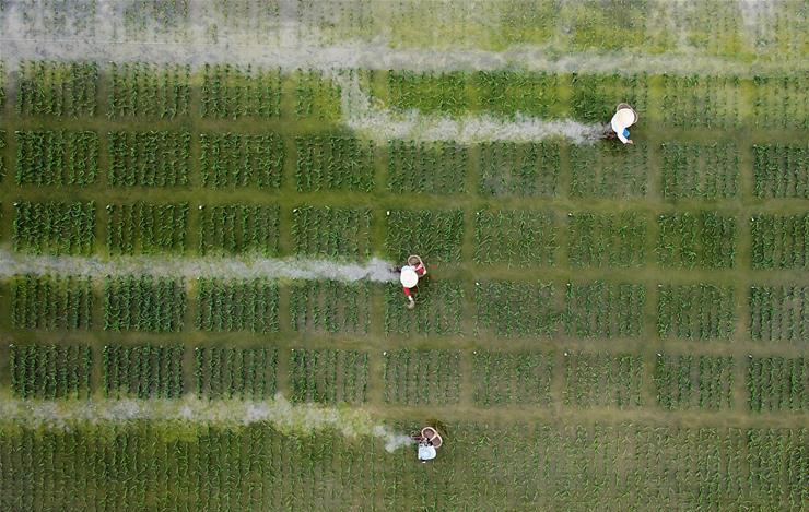 夏日江苏多地农民在稻田里忙碌