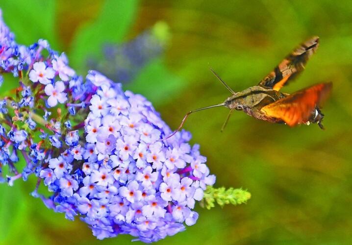 无锡游园里一只蜂鸟鹰蛾在花间飞舞