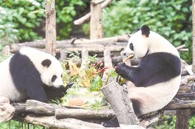 南京红山动物园给双胞胎大熊猫庆祝四岁生日