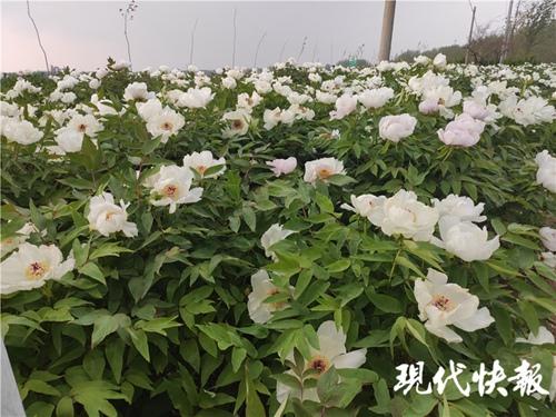宿迁泗洪80岁老人为亡妻种6000株牡丹花插图(1)