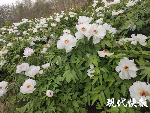 宿迁泗洪80岁老人为亡妻种6000株牡丹花插图(2)
