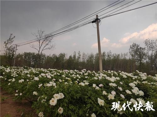 宿迁泗洪80岁老人为亡妻种6000株牡丹花插图(3)