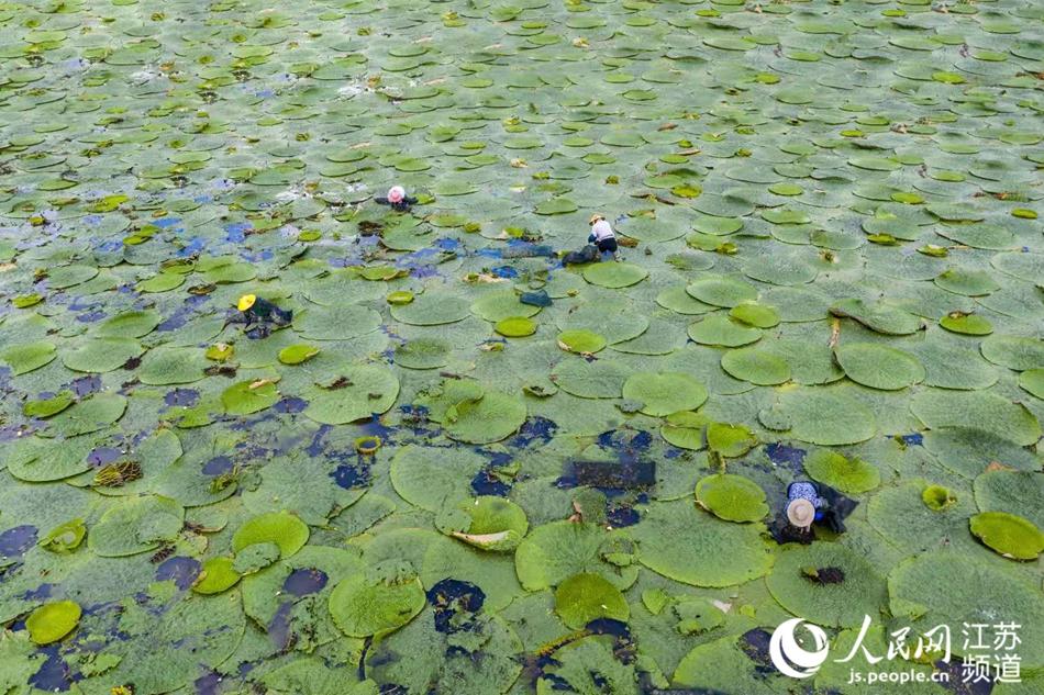 航拍卢滩村茨实种植基地。纪星名摄