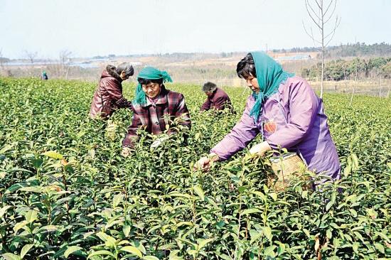 后巷镇建林茶场栽培的无性系良种茶开采