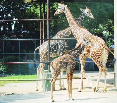 红山动物园长颈鹿两小时产子