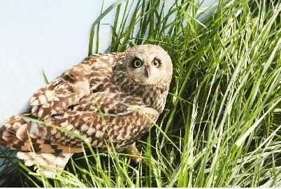 猫头鹰受伤获救 系国家二级重点保护动物