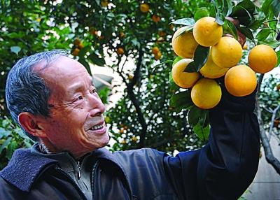 的甜橙种子长成大树硕果累累