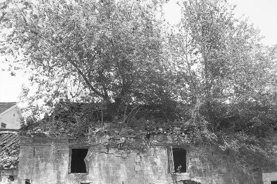 大树长在屋顶上,这样的怪异情景你见过吗?在高淳县桠溪镇胥河村,一处百年老屋上就长了一棵铁油树。当地居民介绍,这棵铁油树在屋顶已经生存了20年,大家称它是树坚强。       在胥河之边的胥河村,灰黑色的老屋显得破旧,铁油树在屋顶上,枝叶茂盛,它的根部延伸到墙体里,树身比碗口要粗。       据当地居民称,这处老屋是村里的资产,因房屋破败得厉害,这么多年,屋子一直闲置着。       今年49岁的吕先生住在老屋的附近,他说,他是看着铁油树在屋顶长大的。这处老屋共五间,老屋有上百年的历史,当