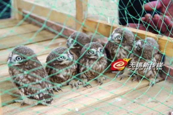 江阴村民拆旧屋发现一窝猫头鹰 系保护动物