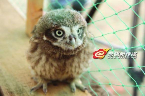 窝猫头鹰 系保护动物