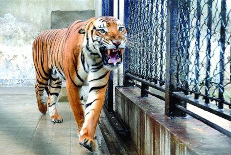 苏州基地再招上海动物园华南虎进行联合繁殖