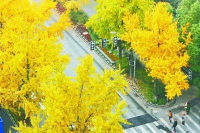 金黄银杏树叶装扮北京南京西路变身单位路广东省园林设计景观图片