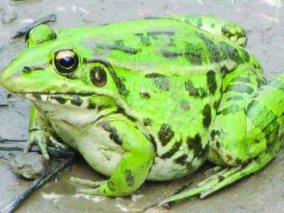 两栖动物 青蛙 黑斑蛙_两栖动物 青蛙 黑斑蛙