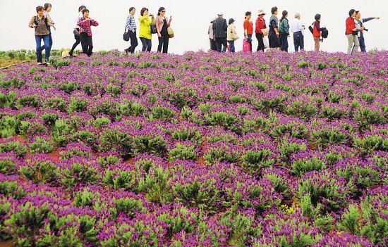 昨日,南京告别了持续的阴雨天气,江宁谷里大塘金村薰衣草种植园
