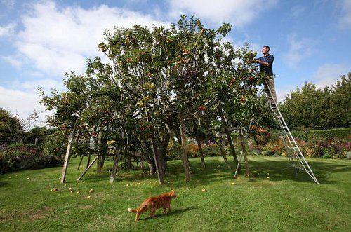 苹果树嫁接新品种