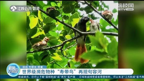 世界级濒危物种寿带鸟现句容河:意味着当地生态环境得到持续改善